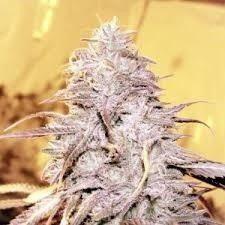 Buy Loud Cannabis Strain UK